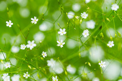 Stellaire aquatique (Myosoton aquaticum L.) (Conrad Zimmermann) Tags: flora flore macro randonnée saison suisse switzerland attalens vaud ch
