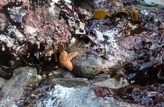 Wedding Rock (elisecavicchi) Tags: ochre star wedding rock seaweed beach west coast pacific ocean sea foam tide pool stones california ca humboldt county trinidad patricks point state park june summer