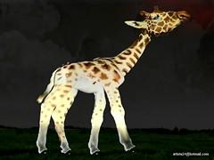 Girafe - Giraffe (1) (artiste24artiste241) Tags: girafe safari jungle sauvage zoo savane parc réserve mammifère