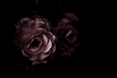 The End (niall patterson) Tags: pink flowers light red black garden dark photography death wine united kingdom end mysterious patterson highlight ending niall blackness niallpatterson niallpattersonnet wwwniallpattersonnet