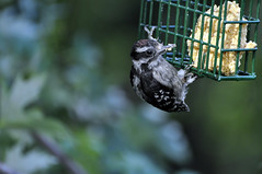 Baby Woodpecker at Feeder