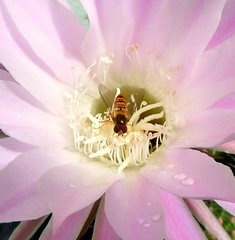 Visitor after the rain (Eisgrfin (very busy)) Tags: cactus macro nature germany blossom hannover mygarden visitor besucher kaktusblte anawesomeshot eisgrfin theoriginalgoldseal