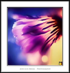 Luminaria (Jose Luis Mieza Photography) Tags: flowers flores flower fleur fleurs flor benquerencia florews reinante jlmieza reinanteelpintordefuego joseluismieza