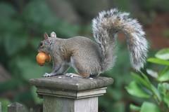 squirrel 032