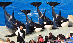 sw069 (paololzki) Tags: vacation photography shamu killerwhale seaworldsandiego nikond5000
