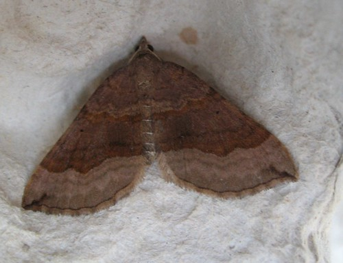 Shaded Broad-bar