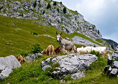 Donkey and his cows pals (will_cyclist) Tags: france alps cycling aravis arpettaz cowsx