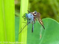 Robber Fly Making A Meal Out Of A Dragonfly (Image Hunter 1) Tags: nature reeds louisiana feeding dragonfly bayou swamp greenery robberfly marsh elephantears potofgold bayoucourtableau panasonicfz35