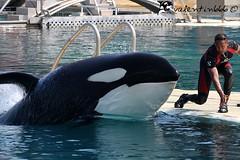 freya v3 280610 (valentin666) Tags: france killer whale orca antibes marineland freya orque