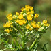 tansy ragwort - Photo (c) Lynette Schimming, some rights reserved (CC BY-NC)