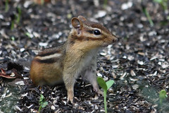Eastern Chipmunk (Bill McBride Photography) Tags: ny nature animal canon eos rebel rodent wildlife small july chipmunk eastern tully striped 2010 xsi tamiasstriatus tamias striatus 450d 55250 canon450d efs55250 canonxsi