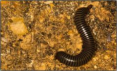 El muelle con patas (Fotgrafo-robby25) Tags: insectos gusanos macrofotografa canoneos5d canonef180mm