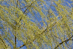 Willow branches (spectrumtextures) Tags: park travel blue wild plant tree green tourism nature grass rural forest landscape outdoors spring woods flora scenery branch view outdoor willow weeping willows salix babylonica