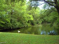 Fagagna CIMG3487 The swan pond (pinktigger) Tags: italy nature swan pond ducks friuli fagagna naturalreserve oasideiquadris feagne iquadri