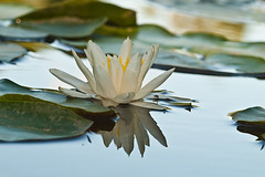 Nymphaea alba (SteeBar) Tags: