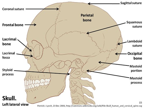 skull diagram, lateral view with labels part 1 - axial skeleton visual  atlas, page 15