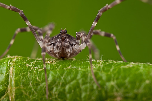 ... ... it's always good to look close 42 - Harvestmen  ...