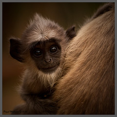 Hi (Priyal Mahendre | Sri Lanka) Tags: monkey warm srilanka anuradapura photosofsrilanka imagesofsrilanka priyalmahendre motherslove