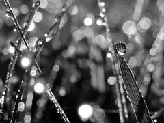 "Irrlicht 2 - EXPLORE (Light Echoes) Tags: summer blackandwhite bw macro nature grass garden blackwhite bokeh pennsylvania explore fantasy 1001nights soe 2010 potofgold dmk greatphotographers thegalaxy inspiredbylove magicofnature golddragon goldstaraward clevercreativecaptures thebestshot spiritofphotography ""flickraward"" photographersworldbestfriends mylensatwork beyondbokeh lifetnc10 ringexcellence"