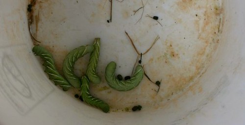 Bucket 'o Hornworms