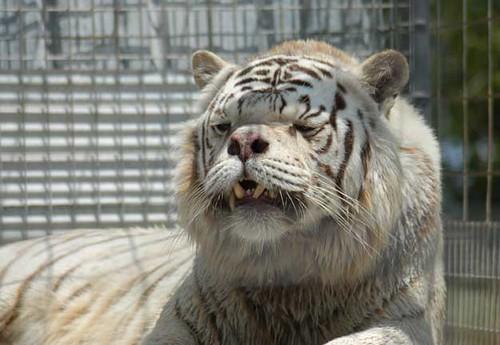 deformed white tiger pictures. Deformed white tiger