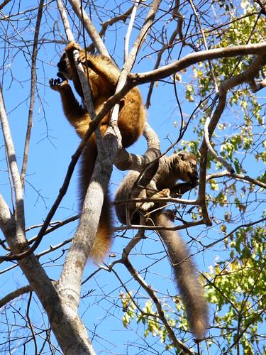 PAreja de lémures marrones de frente roja