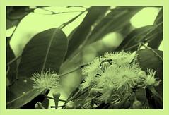 'tinted tallowwood' (YAZMDG (15,000 images)) Tags: flowers leaves moss flora seeds fungi bark nsw banksia lichen pods protea florafauna yaz proteas kangaroopaw geraldtonwax dicksonia grevilleas northernrivers xanthorrhea xanthorea callistemons faunaofaustralia indigenousflora yazminamicheledegaye yazmdg floraofoz florafaunaofoz ystudio wildandnativeflora cllistemon leucodendrums