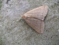 Fan-foot moth