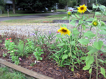 sunflowers090310