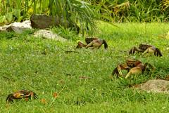 L'invasió / The invasion of the crabs (SBA73) Tags: animals army four holidays 4 crab seychelles crabs atat waroftheworlds ejercito fearsome cangrejos praslin cangrejo quatre cranc crancs exèrcit cardisomacarnifex ilêdespalmes
