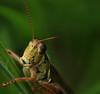Young Grashopper: Stacked (mbaglole) Tags: park macro grass nikon state connecticut tube micro grasshopper extension nikkor hopper f28 osborne afs dg ansonia 36mm 105mm kenko mywinners macrolife