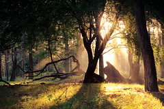 the dreaming tree (andrew evans.) Tags: lighting morning trees light summer england sun mist nature misty fog fairytale forest sunrise landscape golden countryside kent woods nikon ethereal flare rays sunrays wonderland storybook magical 70200 f28 enchanted d3