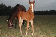 Foal with the mum. (Fluorite-777) Tags: wood summer horse animals night interesting twilight russia riding stallion beautifully foal posterity amare afield thenature agrass apasture anonions ashowjumping