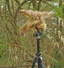 Get off! - Juvenile GH Owl - 1887b (teagden) Tags: tripod idaho owl behavior juvenile greathorned nikonflickraward