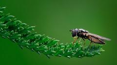 Fly on green (knutriise) Tags: nikon sigma d300 150mm