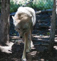 Coyote (granPOParazzi -- Buried and Baffled) Tags: coyote minnesotazoo 18200mm d90