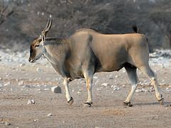 Eland Bull, Etosha