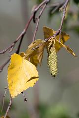 yell-leaf (lexzag) Tags: