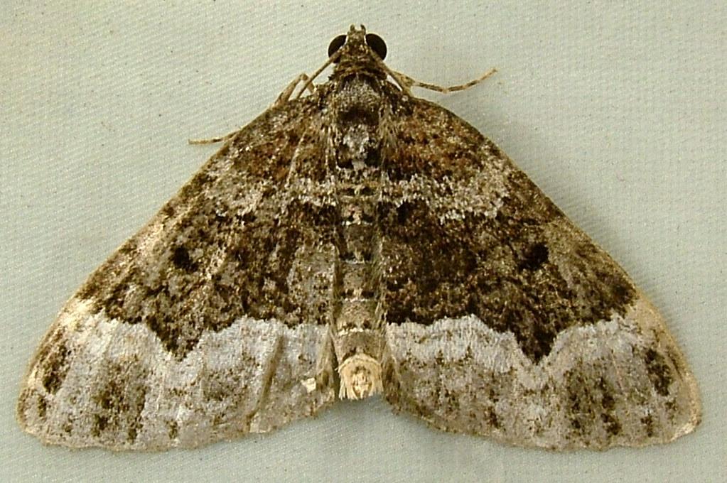 2054 Euphyia intermediata - Sharp-angled Carpet 7399