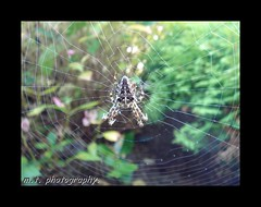spider in web (gigsnapper.com) Tags: macro spider cornwall web sony stumbleupon hayle t7