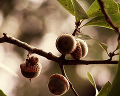 Acorns on tree