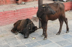 On death row (deb & devin etheredge) Tags: nepal animals cows explore 2009 debetheredge debetheredge2012 debetheredge2011