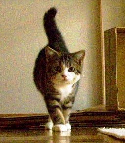 cute maru the cat when he was a kitten