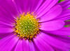 Aster (Claude@Munich) Tags: pink autumn detail macro yellow germany bayern bavaria herbst oberbayern upperbavaria rosa gelb makro asteraceae aster herbstaster claudemunich theperfectpinkdiamond