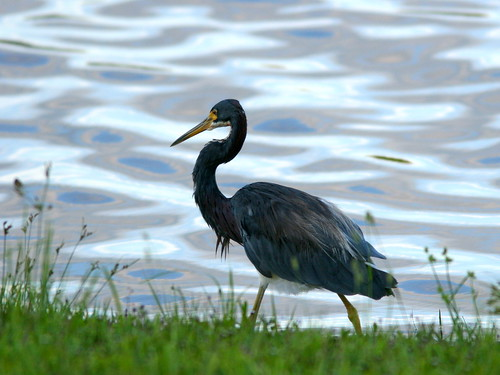 Tricolored Heron at sunset 3-20100916