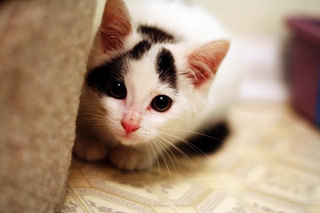 cute foster kitten turkish van