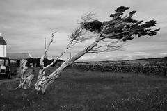 go....with the wind (kos71) Tags: ireland bw tree canon estate campagna aaran summertime albero isle biancoenero inishmore irlanda isole eos450