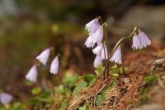 Kleine Alpenglckchen (raindrop7777) Tags: lila grn braun blau soldanellapusilla kleinesalpenglckchen blteblumealpenblumealpenpflanzealpenvalpioraritomtessinschweizfrhlingsbltefrhling schlsselblumegewchse
