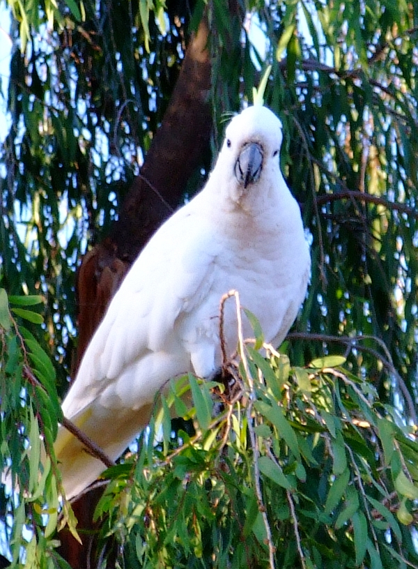 gday cockatoo