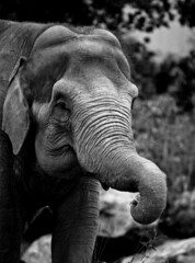 elephant from film (Elliot young) Tags: zoo chester